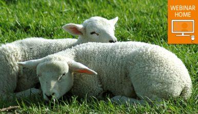 Sleeping lambs. Watch webinar at home icon.